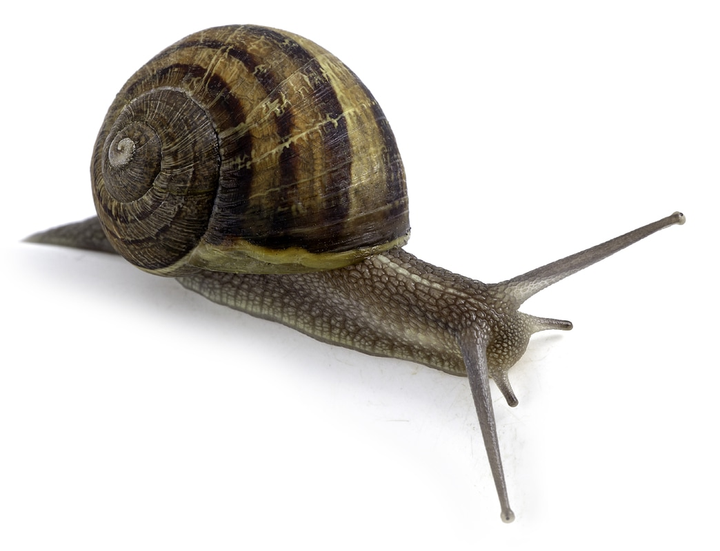 Lateral of outstretched snail