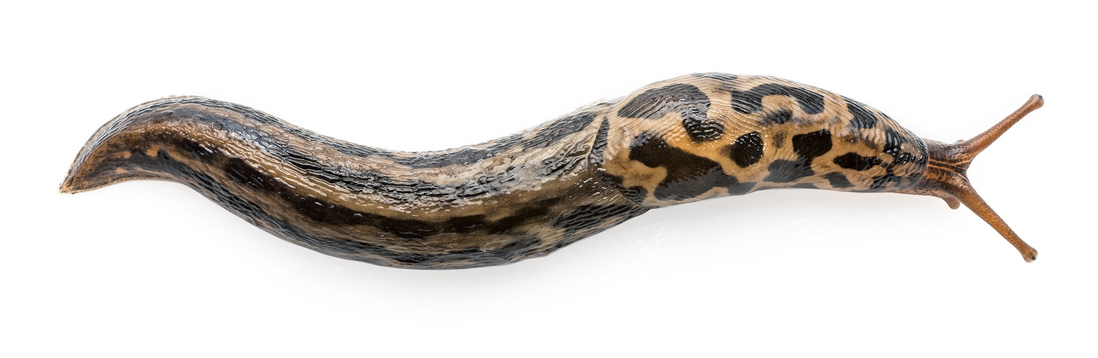 Lateral image of a spotted Ariolimax columbianus