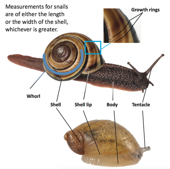 Shows the parts of a snail using two diffearent snail species. These include growth rings, whorl, shell, shell lip, body and tentacles