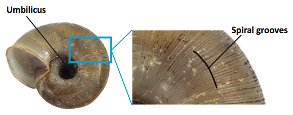Blow-up of a section of snail shell showing spiral grooves and umbilicus.