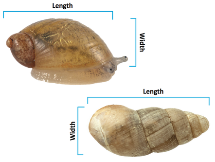 Snail shells that are longer than wide.