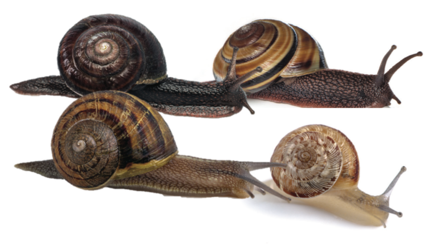 4 snails with banded or striped shells