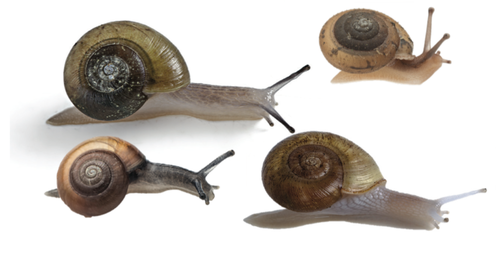 4 snails with plain or unbanded shells